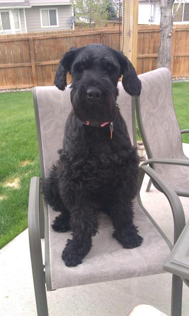 KJ the dog sitting in a backyard chair