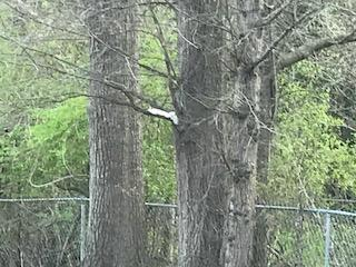 Another albino squirrel in Greenwood SC.
