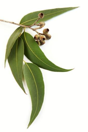Restore with Eucalyptus aromatherapy