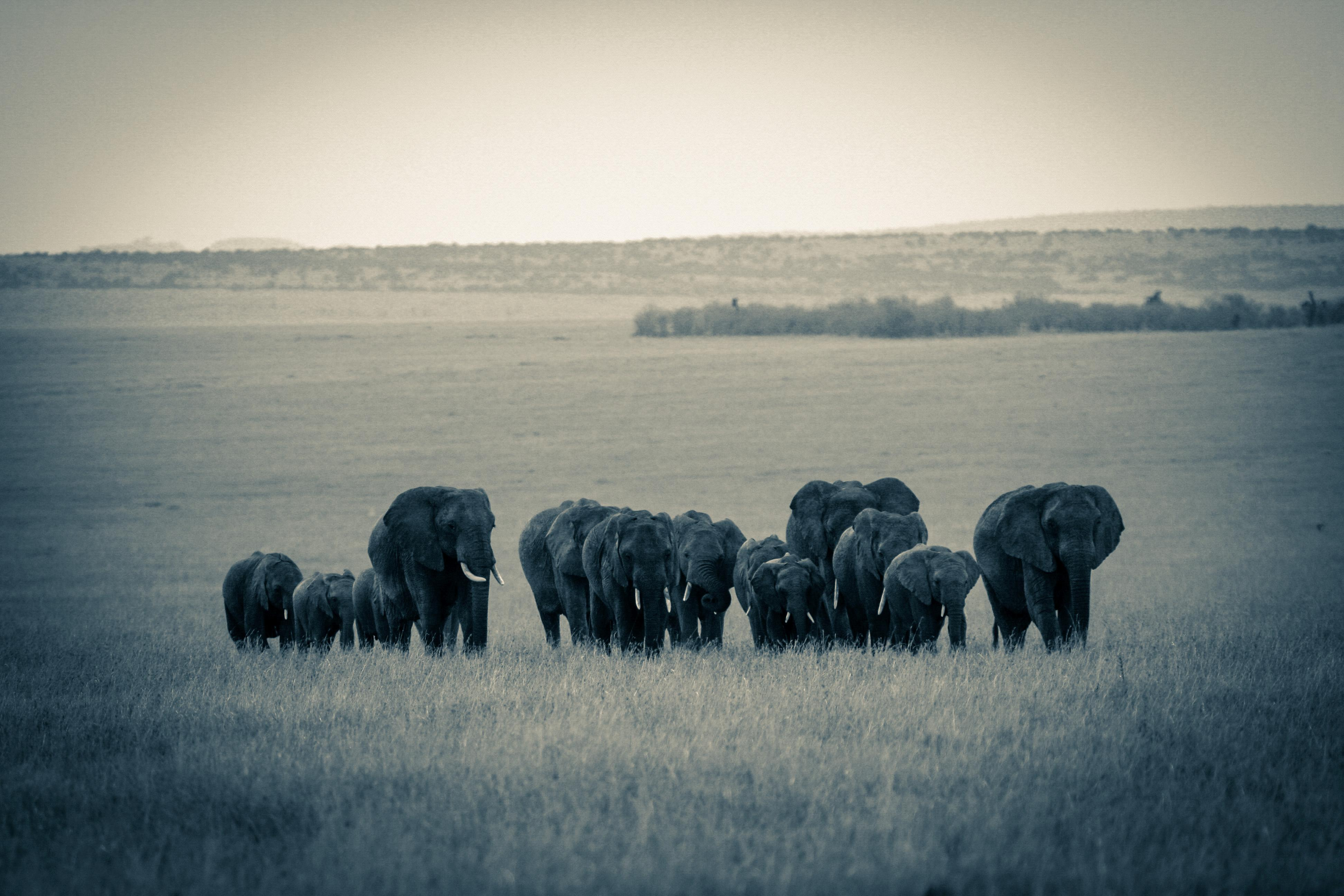Elephant Herd SepiaII
