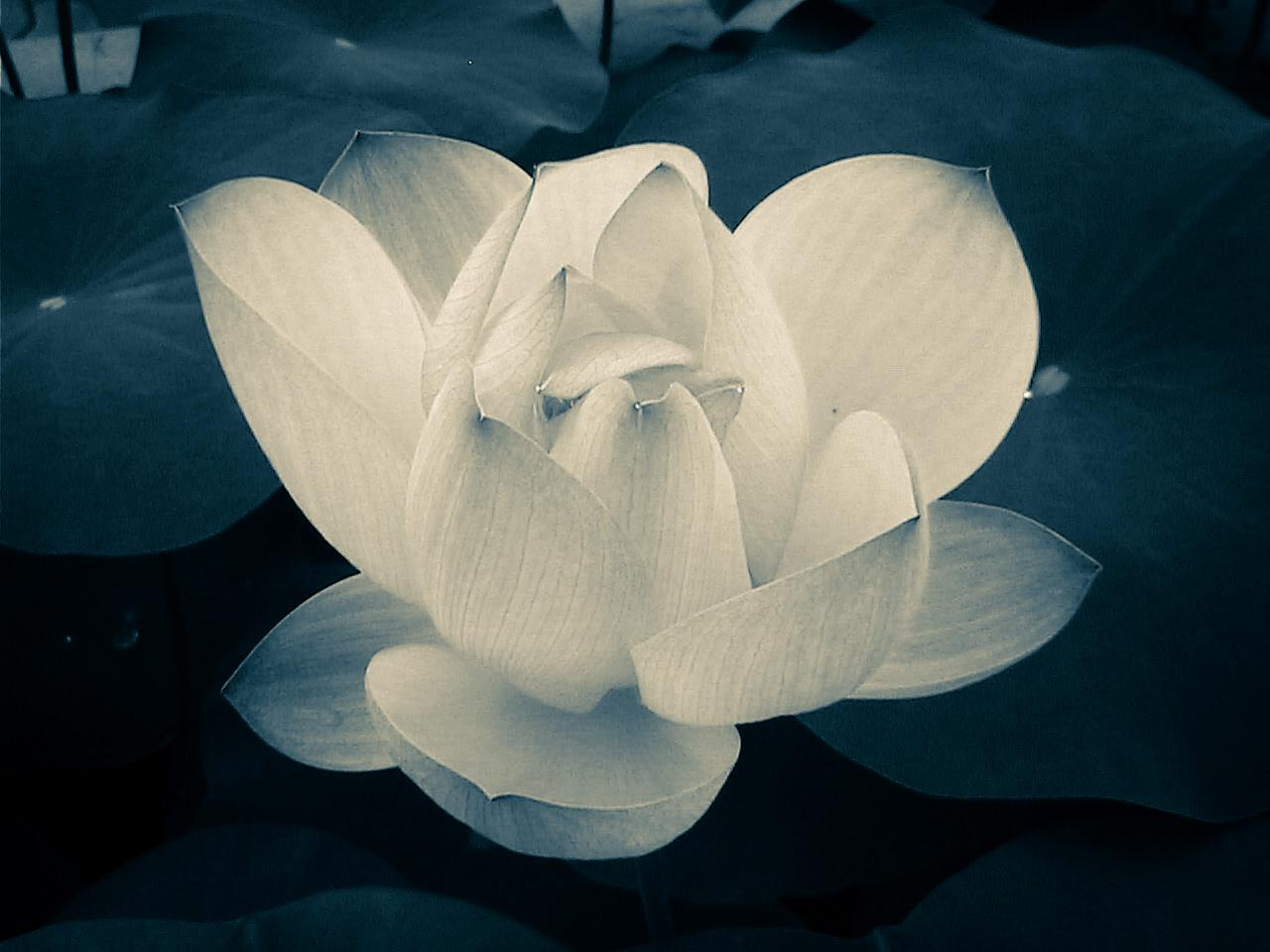 Thailand Lotus SepiaII