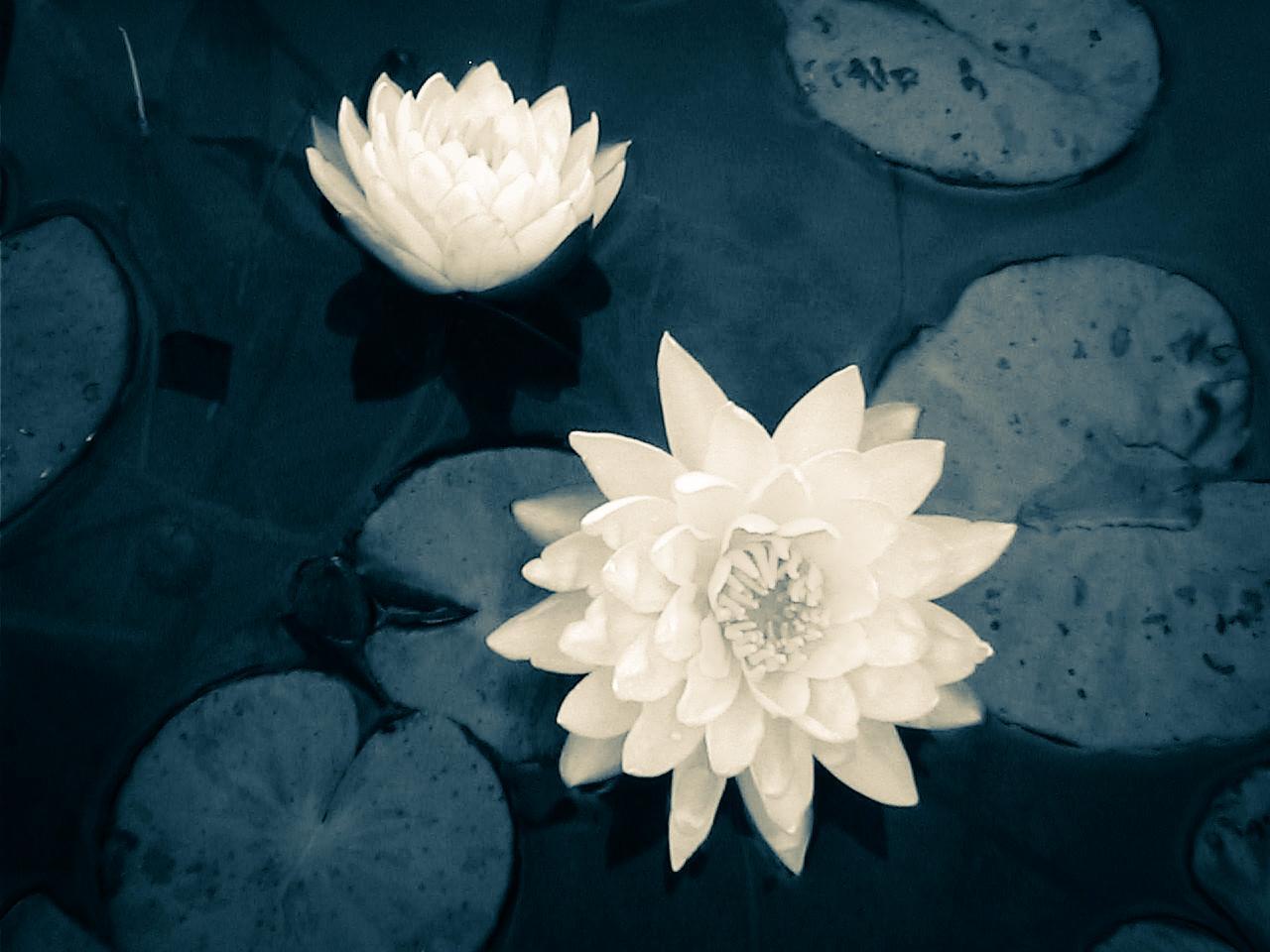 Thailand Lotus